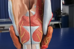 laringe2